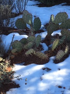 Believe it: snow on the cactus!